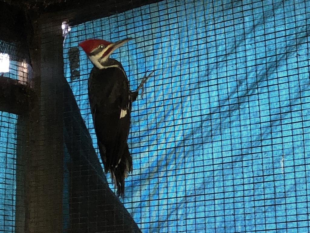 Pileated woodpecker before release